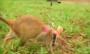 Chuột túi khổng lồ dò mìn ở Campuchia
