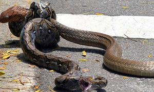 Trận chiến nảy lửa giữa trăn và rắn hổ mang chúa