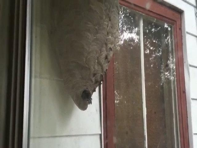 Tổ ong vò vẽ khổng lồ ngoài cửa sổ nhà dân ở Ohio