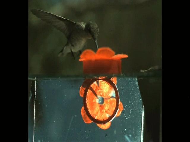 Chim ruồi hút mật hoa