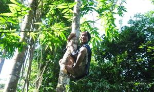 'Người rừng' thoăn thoắt trèo cây hái lan, bẻ cau