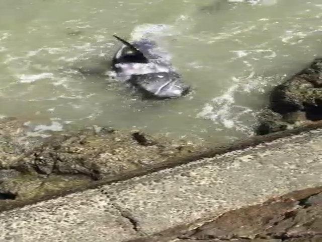 Bị săn đuổi, cá heo tuyệt vọng tự lao đầu vào đá