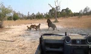 Sư tử cái một mình chống trả hai con đực