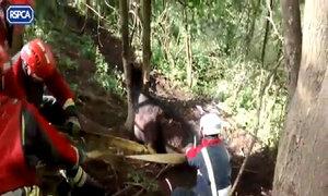 Giải cứu bò mắc kẹt trong hốc cây