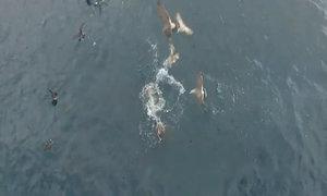 Sư tử biển ngoạm cổ cá mập cáo