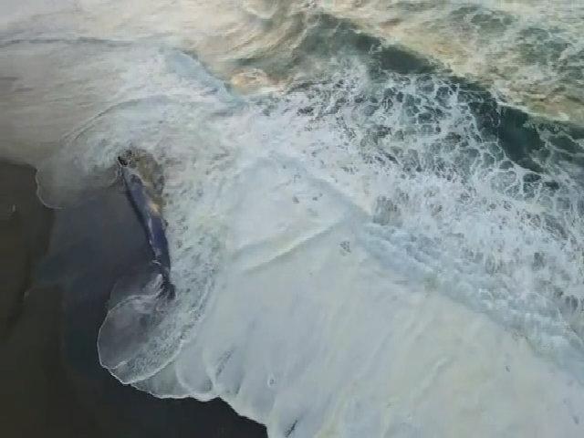 Xác cá voi xanh khổng lồ dạt vào bờ biển Mỹ