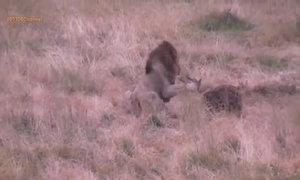 Vua sư tử ra oai đuổi linh cẩu chạy tán loạn