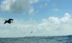 Cá chuồn bay thoát pha săn mồi của ác ngư và hung điểu