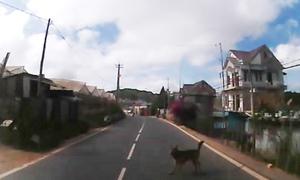 Suýt bị tai nạn vì chó thả rông ngoài đường