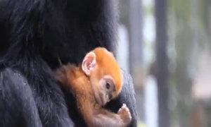 Voọc màu cam quý hiếm chào đời ở vườn thú Sydney