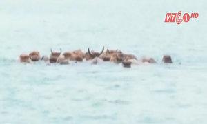 Độc đáo nuôi bò dưới nước ở hồ Thác Bà
