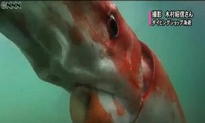 Mực khổng lồ dài 4 m bơi dọc cảng biển Nhật