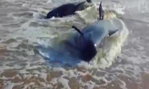 Cá voi thi nhau dạt vào bãi biển Ấn Độ