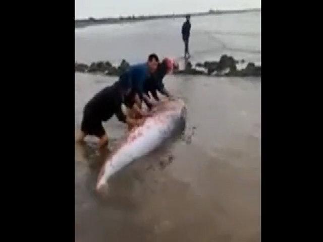 Giải cứu cá voi dạt bờ biển Nam Định