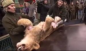 Vườn thú Đan Mạch xẻ thịt sư tử trước mặt trẻ em