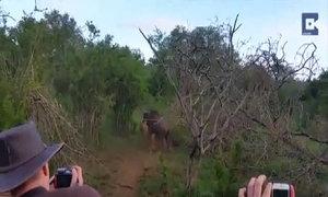 Linh dương đầu bò thoát hàm sư tử trong gang tấc