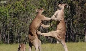 Màn 'đấu quyền anh' của kangaroo để giành bạn tình