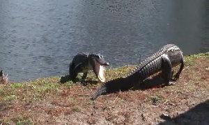 Cá sấu quần đảo dữ dội bên hồ nước