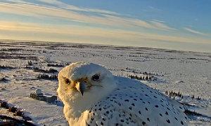 Hình ảnh hiếm của loài chim cắt lớn nhất thế giới