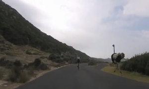 Đà điểu rượt đuổi du khách đạp xe với tốc độ chóng mặt