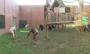 Tinh tinh trụi lông đánh nhau trong vườn thú ở Anh