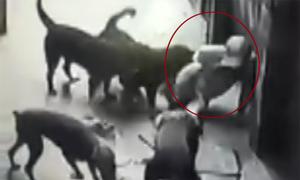 Người đàn ông bị 4 con chó dữ xé nát quần áo khi dắt đi dạo