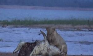 Sư tử phối hợp săn cá sấu ở Zimbabwe