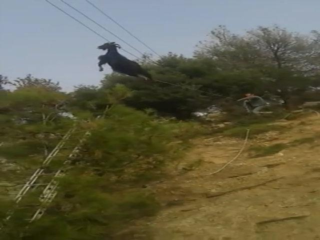 Giải cứu dê mắc sừng treo lơ lửng trên dây điện