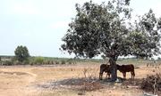Dự án công viên Sài Gòn 500 triệu USD thành bãi thả bò