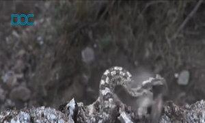 Tuyệt chiêu dùng đuôi nhử chim của rắn hổ lục