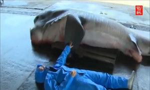 Cá mập miệng rộng nặng một tấn mắc lưới ngư dân Nhật