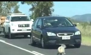 Quốc lộ tắc nghẽn vì chú gấu Koala