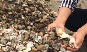 Ngao chết phủ trắng bãi biển ở Hà Tĩnh