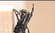 Loài nhện quan hệ bằng miệng 100 lần