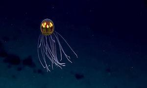 Sứa UFO tại rãnh đại dương sâu nhất thế giới
