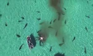 70 con cá mập hổ xé xác cá voi ngay trước mặt du khách