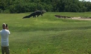 Cá sấu khổng lồ dạo bước trong sân golf Mỹ