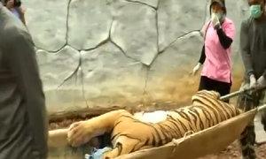 Thái Lan di chuyển hổ khỏi đền bị nghi buôn bán động vật