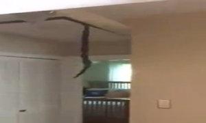 Đôi rắn treo ngược trên trần nhà dân để giao phối