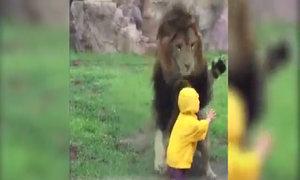 Lao tới vồ em bé, sư tử đập mặt vào tường kính