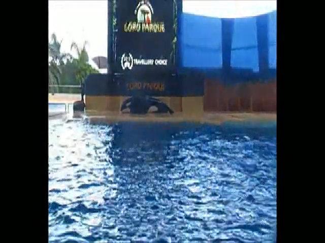 Cá voi sát thủ tự tử đòi thoát khỏi công viên giải trí