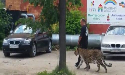 Người đàn ông dắt báo đốm đi dạo ở Nga