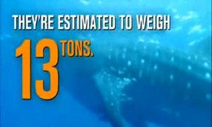 Loài cá mập lớn nhất thế giới