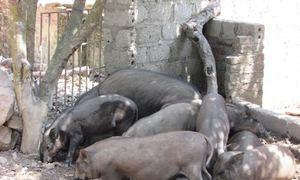 Đào hào nuôi lợn rừng, nông dân thành tỷ phú