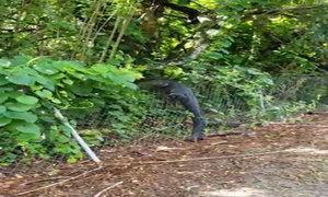 Cá sấu 2,5 mét trèo hàng rào vào sân golf