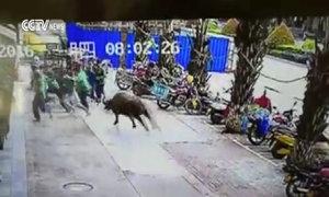 Náo loạn vì bò điên tấn công người trên phố