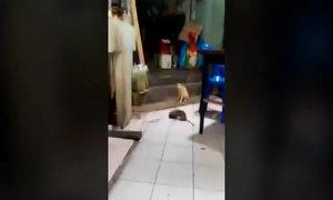 Mèo sợ hãi chứng kiến chuột khổng lồ đánh nhau