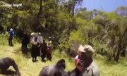 Du khách bị khỉ đột 300 kg tấn công