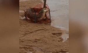 Ngư dân sốc vì cá sấu 2 mét chui vào rọ bẫy cua