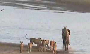 Voi nhỏ chiến đấu giữa vòng vây của 14 con sư tử cái